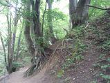 Potężne drzewa w Lisim Jarze
