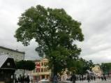 Pomnik przyrody na Placu Łuczkowskiego