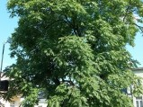 Ajlant gruczołowaty - pomnik przyrody w Chełmie