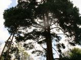 Sosna w Parku Zdrojowym w Konstancinie-Jeziornej
