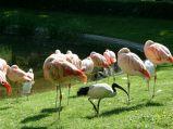 Flamingi różowe w Warszawie