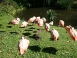 Flamingi różowe w ZOO