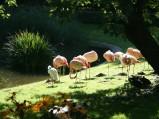 Flamingi różowe w ZOO w Warszawie