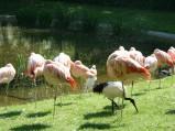 ZOO w Warszawie, flamingi różowe
