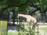 ZOO w Warszawie, wybieg żyraf