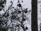 Gniazda kormoranów na drzewach