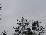 Drzewa, kormaorany i gniazda w rezerwacie Rezerwat Ornitologiczny
