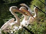 Wybieg pelikanów w ZOO w Warszawie