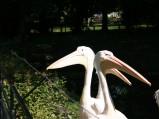 Pelikany w ZOO w Warszawie