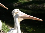 Pelikany w Warszawie