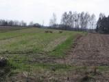 Sarny na polu