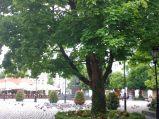 Drzewo na Placu Wejhera