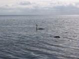 Łabądż przy klifie w Gdyni