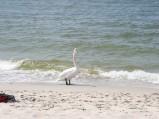 Plaża w Helu, łabądź