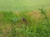 Młode sarenki w polu przy lesie w Borowie