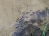 Młode rybki w Jeziorze Rotcze